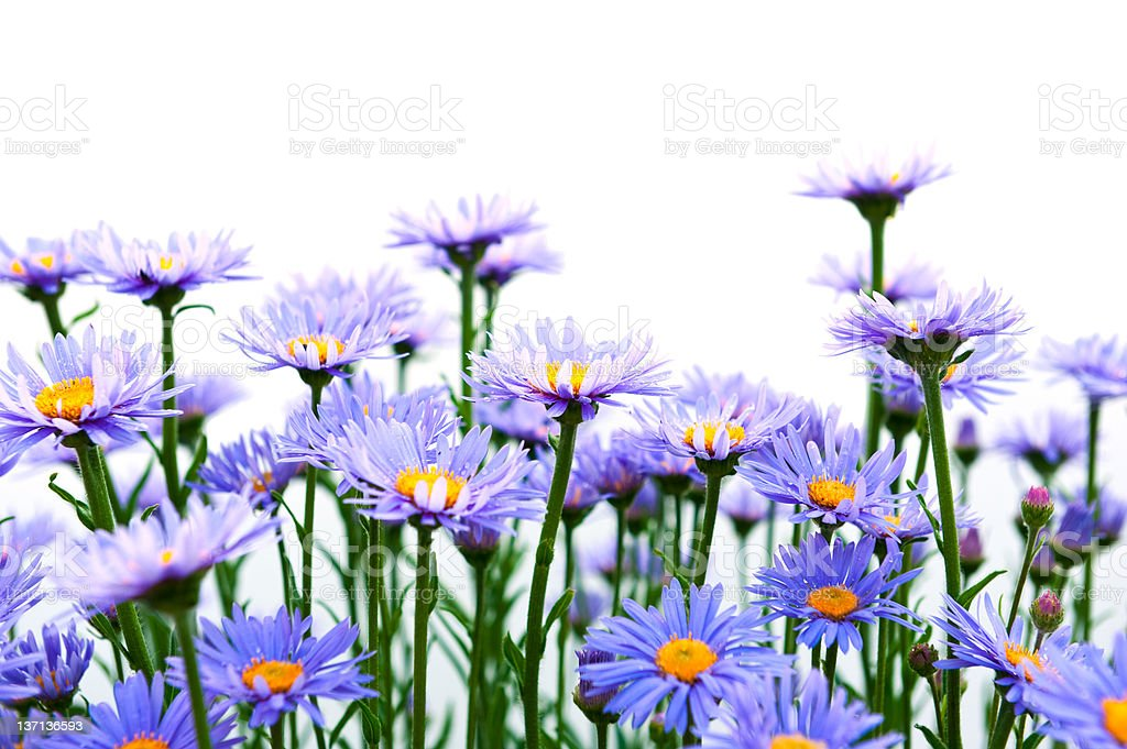Purple camomiles royalty-free stock photo