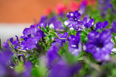 Purple Campanula bell flower in flower pot on the balcony. Summer day. Close up scene.