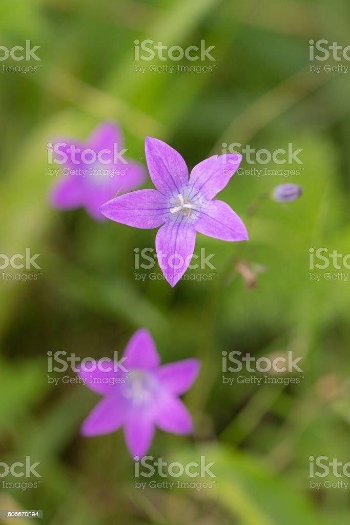 purple campanula close up stock photo