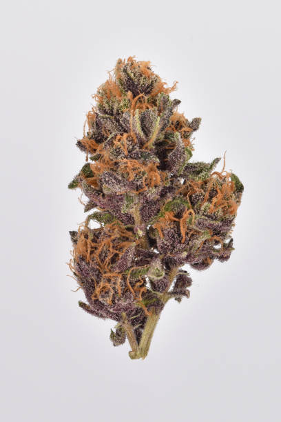 Purple Cannabis Bud Forbidden Fruit Cannabis, Cali plant trichome stock pictures, royalty-free photos & images