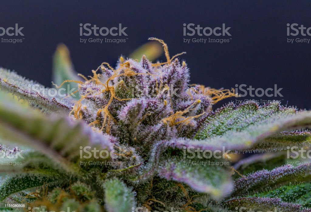 Purple Cannabis Flower Ripe With Trichomes Stock Photo