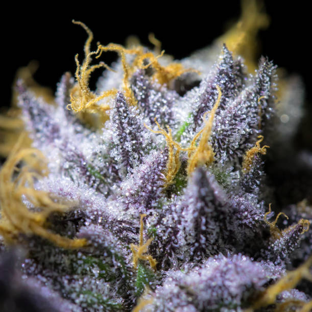 Purple Cannabis Macro Cannabis macro plant trichome stock pictures, royalty-free photos & images