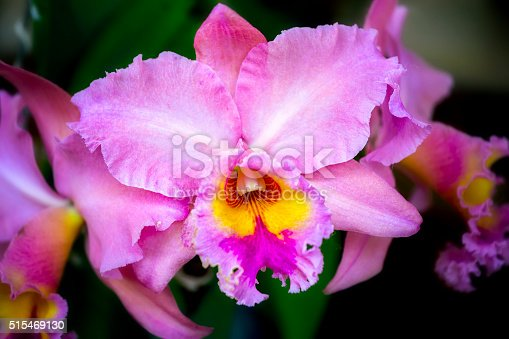 Purple cattleya flowers bloom in spring with flower petals as big as ripe succulent lips