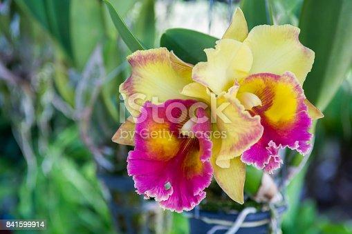Purple cattleya orchid