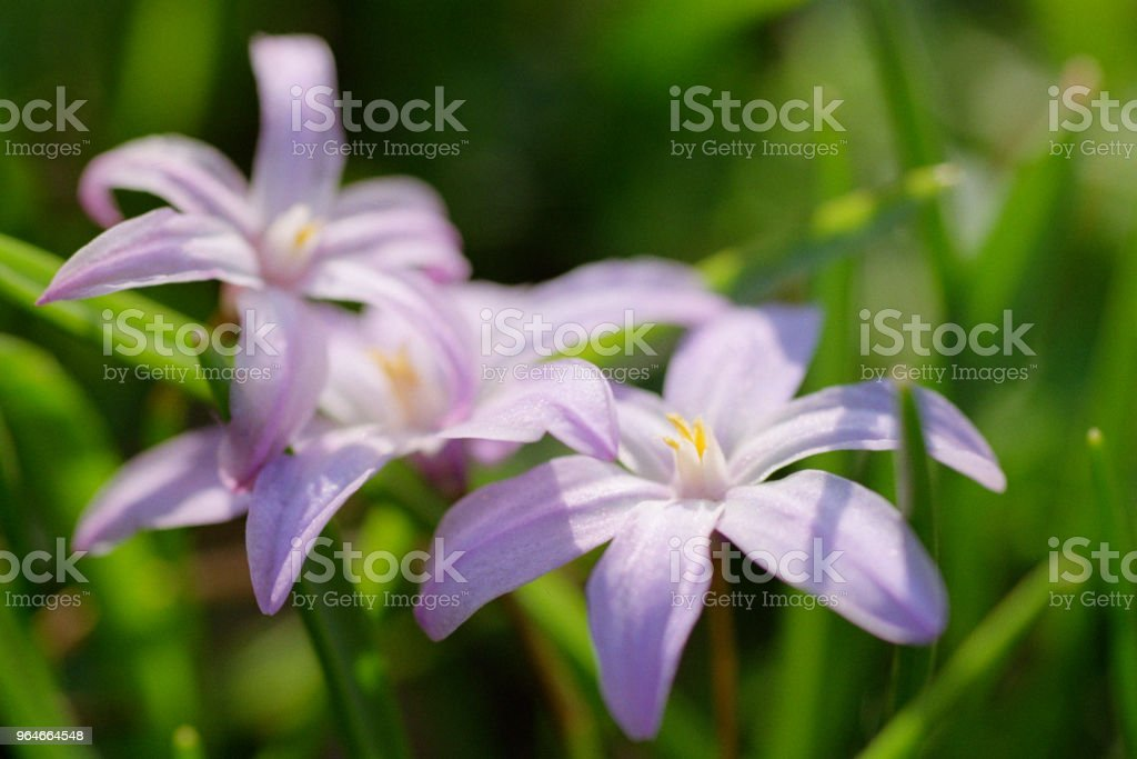 Purple chionodoxa flowers close-up image. Shot on film royalty-free stock photo