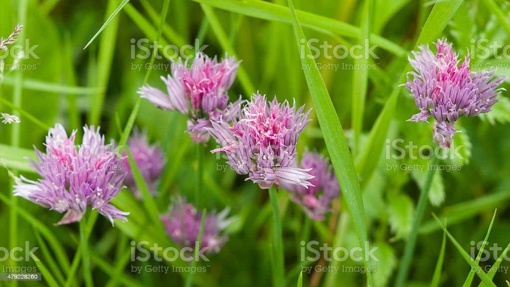 purple chives blooming in the herb bed macro stock photo