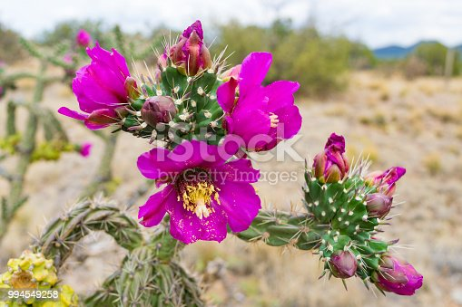 Cholla cactus with colorful blooms in New Mexico desert.