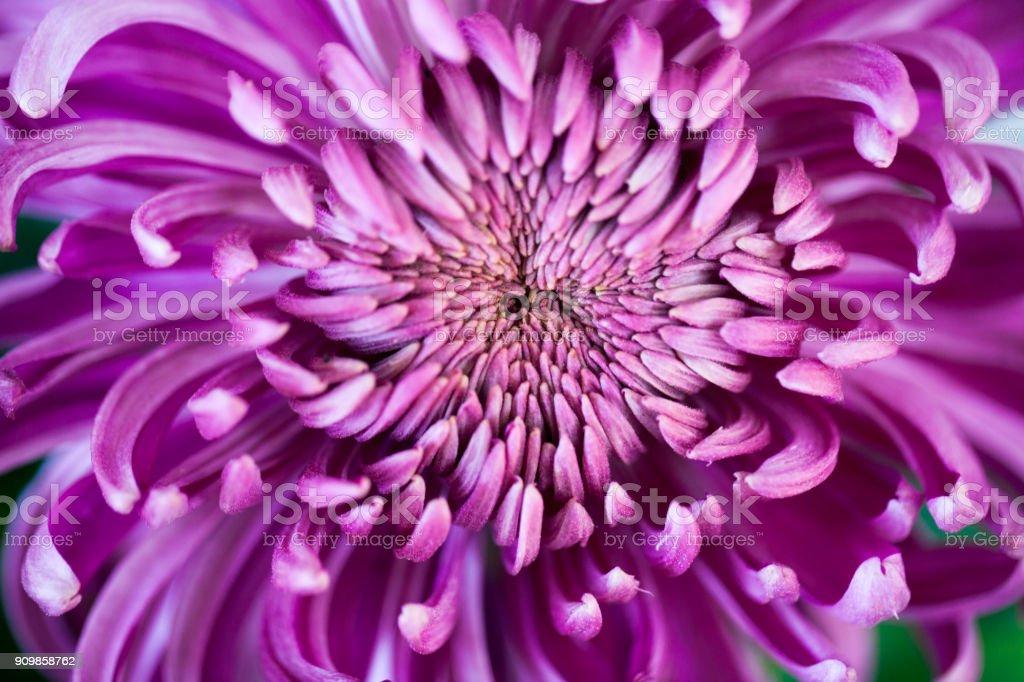 purple chrysanthemum blooming stock photo