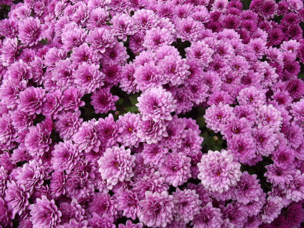 Purple chrysanthemum flowers background natural pattern picture id1092848634?b=1&k=6&m=1092848634&s=612x612&w=0&h=xwim1ioi3bjpkxv1xgd2ydx s2iulttgjtz66xpaw7m=