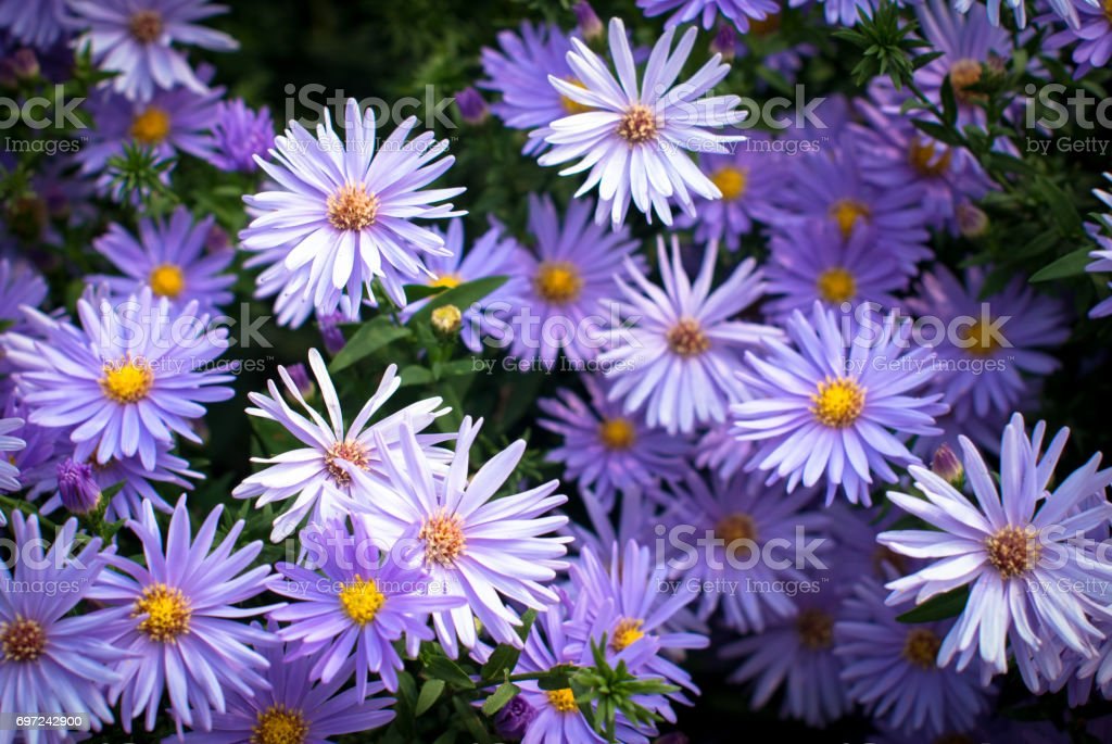 Lila Chrysantheme Blumen – Foto
