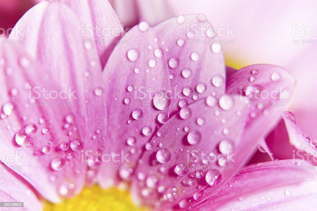 purple chrysanthemum royalty-free stock photo