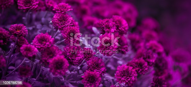 Purple chrysanthemums, beautiful flowers. Selective soft focus, shallow depth of field, toned image.
