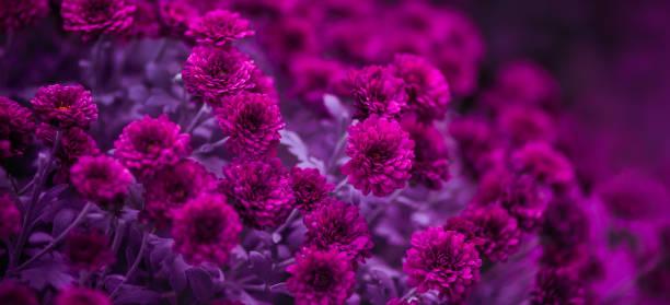 paarse chrysanten, mooie bloemen. selectieve soft focus ondervraagt ondiepe scherptediepte, getinte afbeelding. - chrysant stockfoto's en -beelden