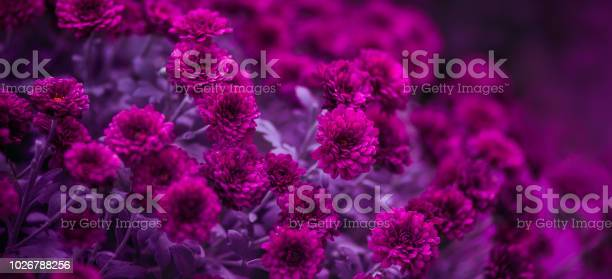 Photo of Purple chrysanthemums, beautiful flowers. Selective soft focus, shallow depth of field, toned image.