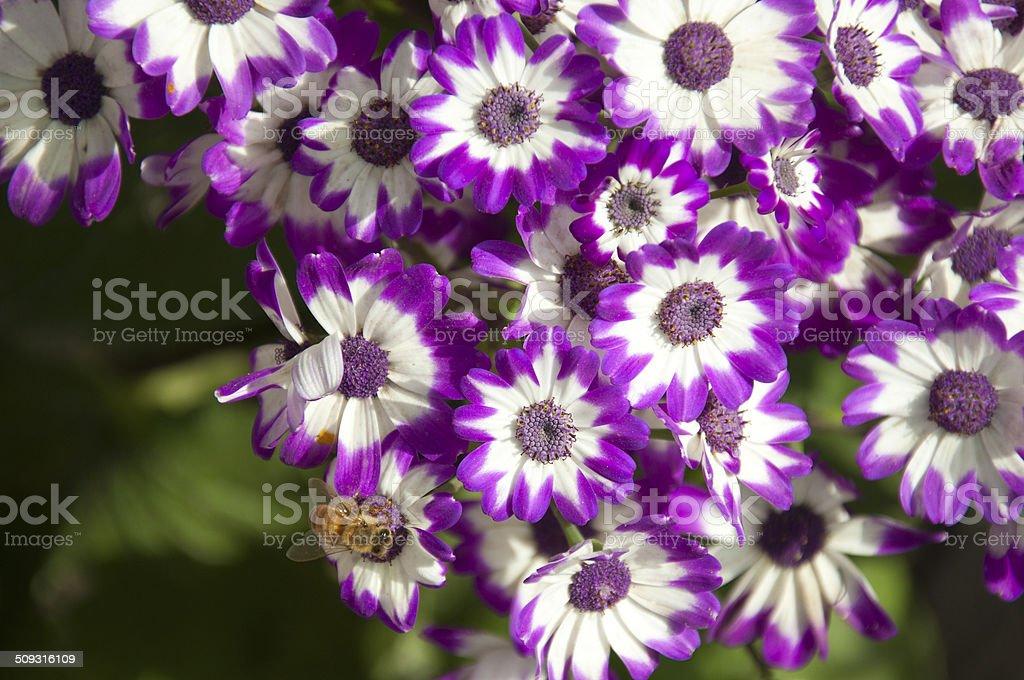 Purple Cineraria stock photo