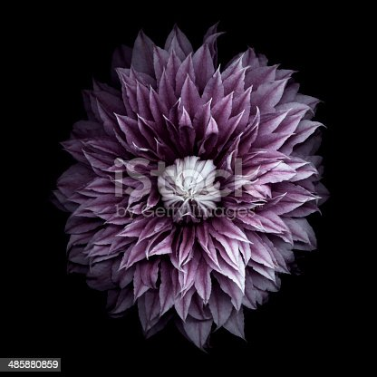 Purple clematis blossom that has a large number of petals.