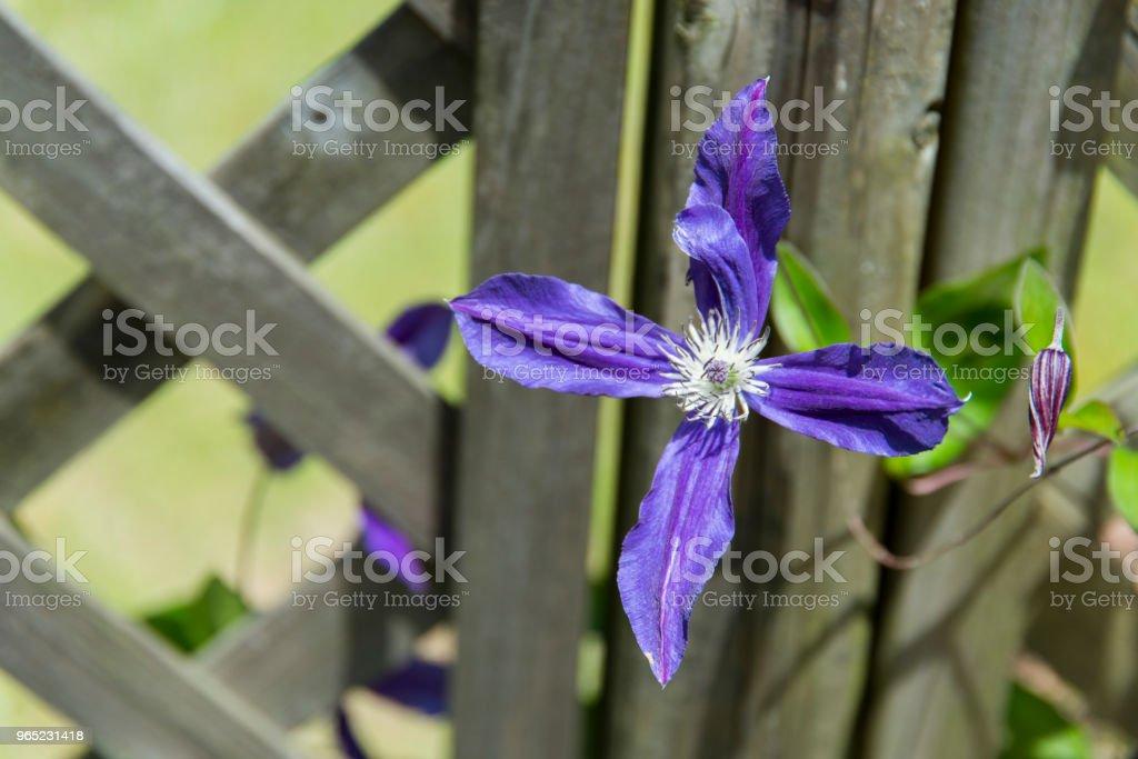 Purple Clematis florida zbiór zdjęć royalty-free