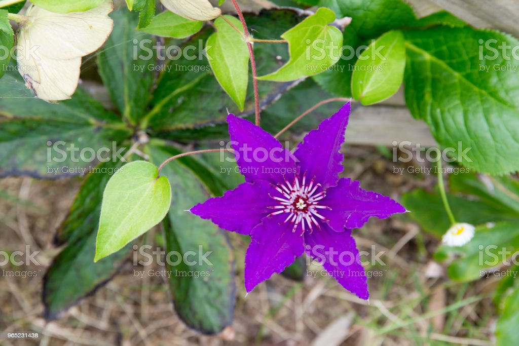Purple Clematis florida royalty-free stock photo