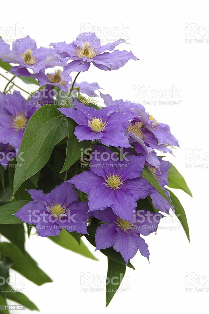 Purple clematis flowers and green leaves on white background stock photo