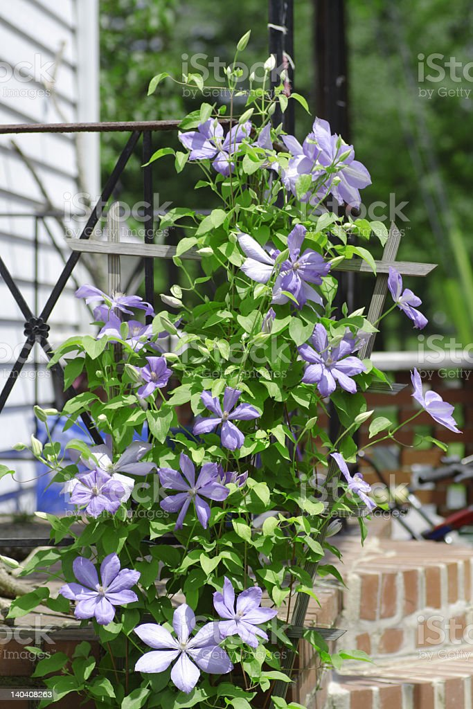Purple Clematis Flowers Growing on Trellis royalty-free stock photo
