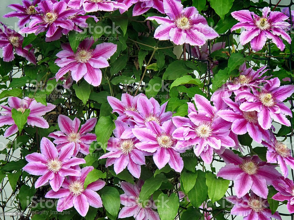 Purple clematis flowers stock photo