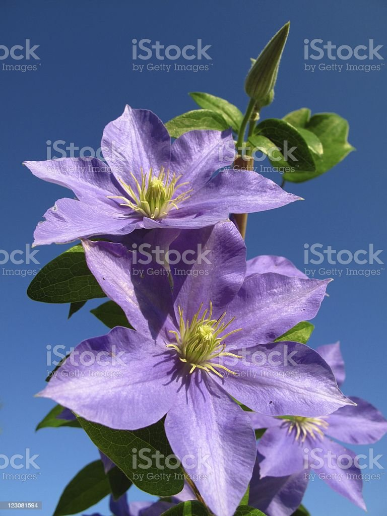 Purple clematis royalty-free stock photo