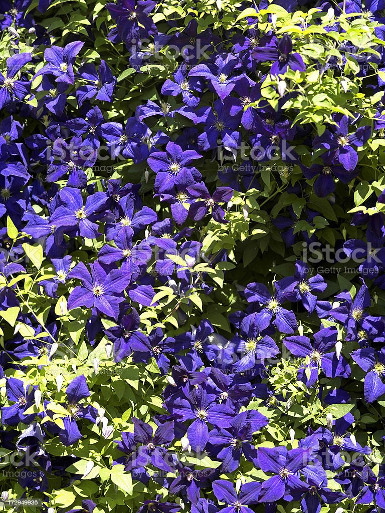 Purple Clematis stock photo