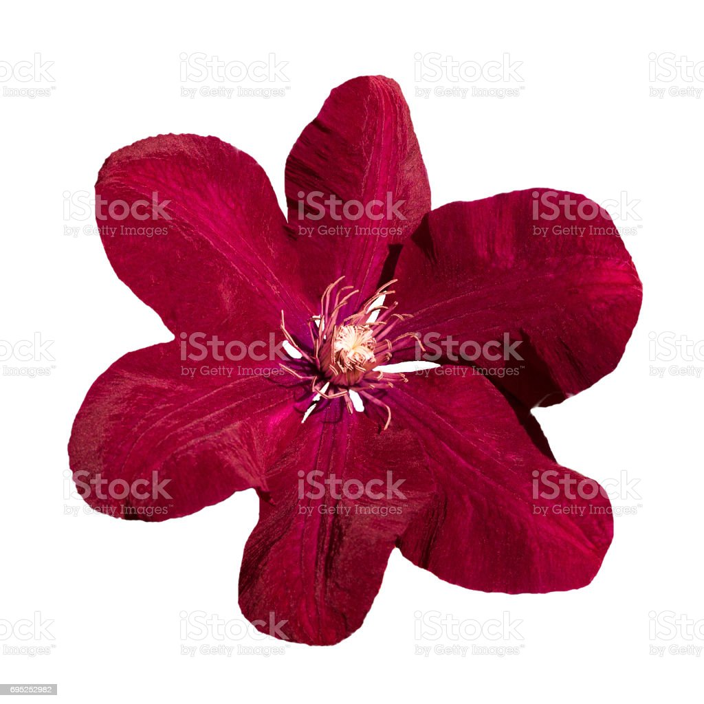 Purple Clematis Ville de Lyon flower isolated close up on white background stock photo