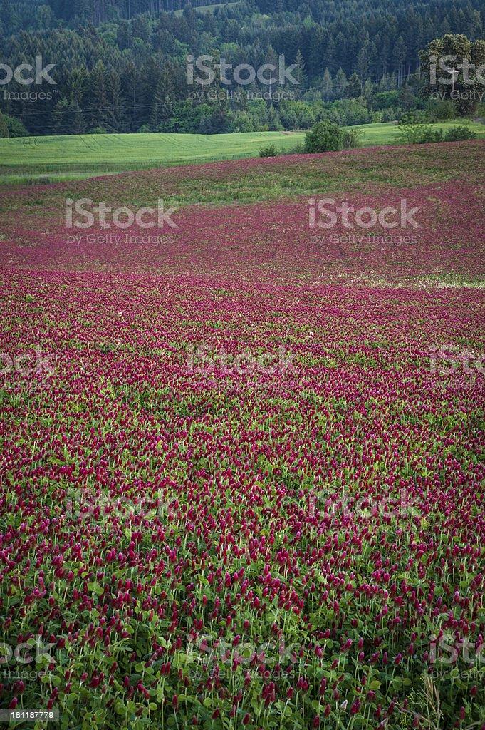 Purple clover field stock photo