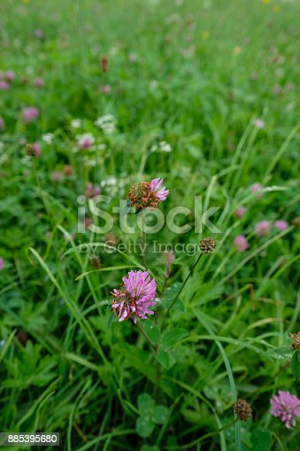 Purple Clover Flower On A Meadow Stock Photo More Pictures Of