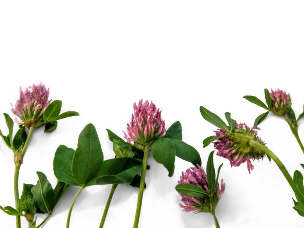 Purple clover flowers arranged in a row, close-up, isolated on a white background stock photo