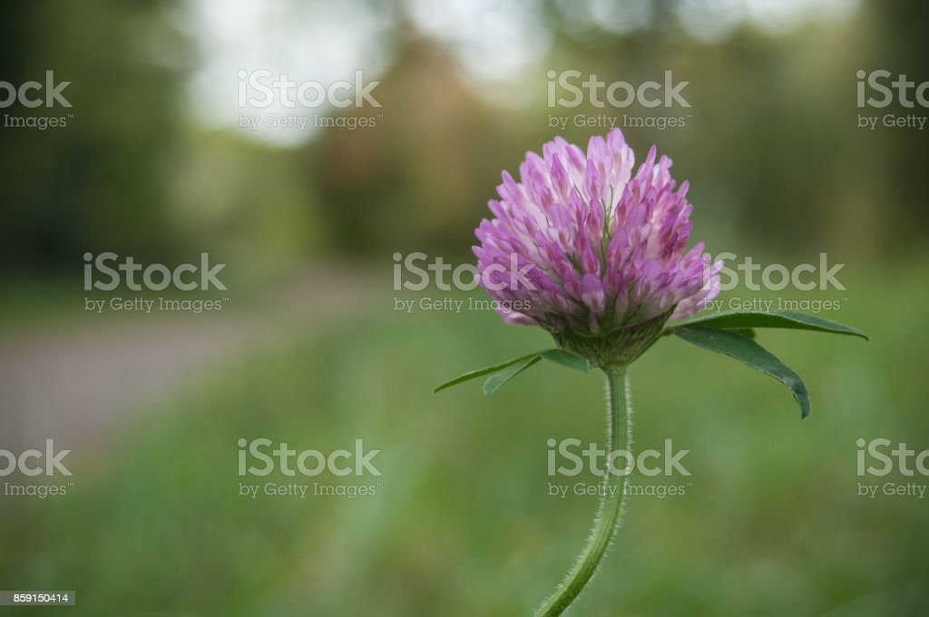 Purple clover in a meadow stock photo more pictures of beauty istock purple clover in a meadow royalty free stock photo mightylinksfo