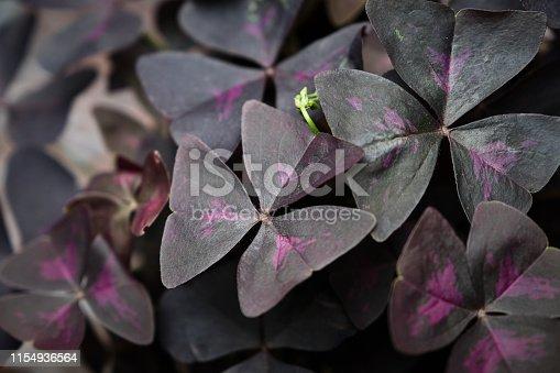 Purple clover plant