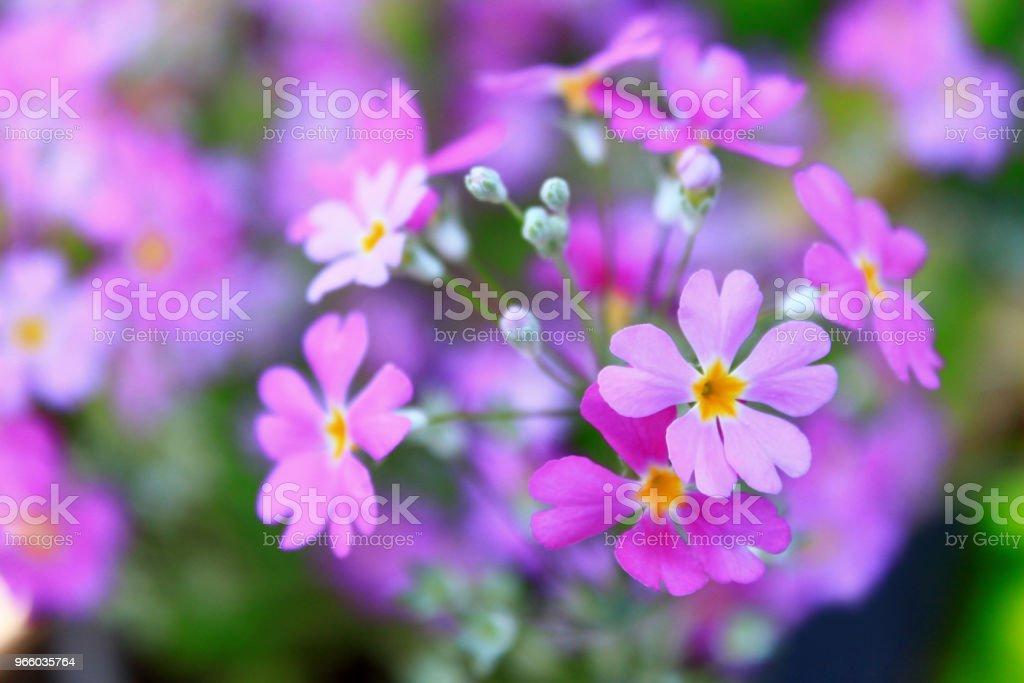 Lila Farbe Blumen blühen im Garten - Lizenzfrei Baumblüte Stock-Foto