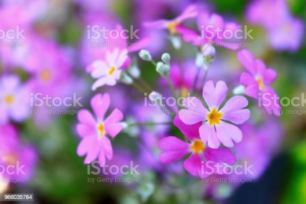 Lila Farbe Blumen Blühen Im Garten Stockfoto und mehr Bilder von Baumblüte