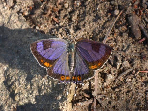 Purple Colorado hairstreak warms on Mount Falcon trail Morrison Colorado stock photo