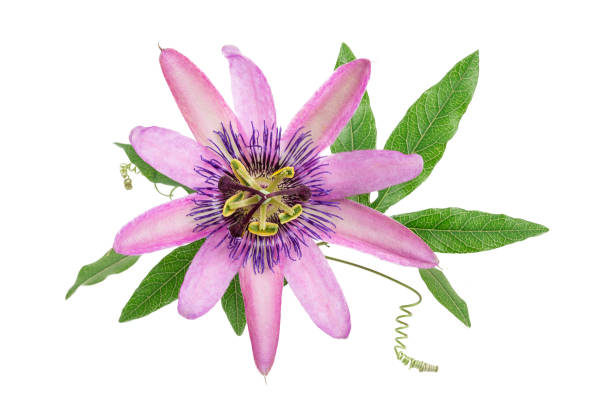purple colored passion flower isolated on white stock photo