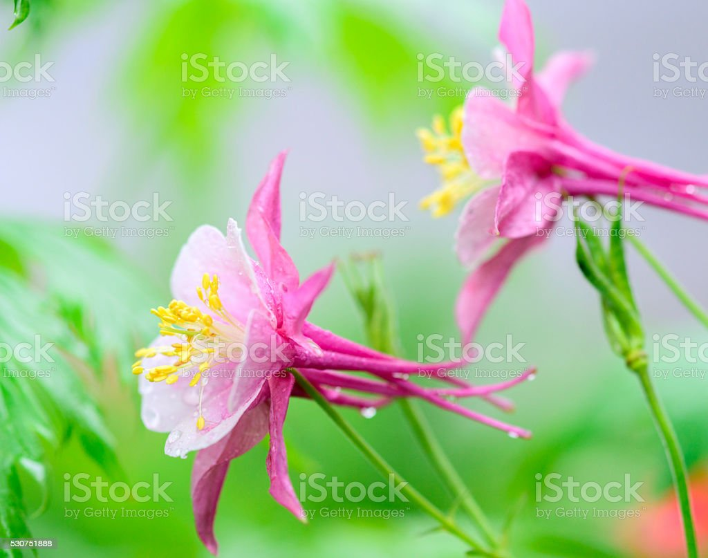 Purple Columbines Flower Stock Photo More Pictures Of Backgrounds