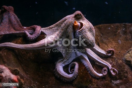 Purple common octopus, tentacles rolled with other one in background.