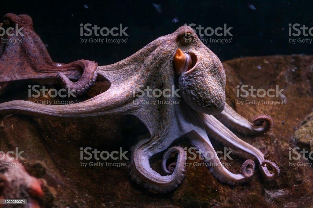 Pulpo común púrpura, tentáculos con otro fondo. - foto de stock