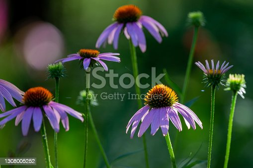 blossoming purple cone flower in a lush green garden