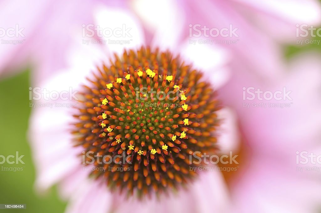 Purple Cone Flower Pollination in Process royalty-free stock photo