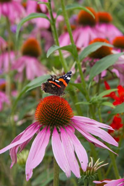 Purple coneflower a popular plant for attracting butterflies picture id876074818?b=1&k=6&m=876074818&s=612x612&w=0&h=bbgno5ap9nmj6avjlvce1l6s57q7n0iuepdcinjgpyi=