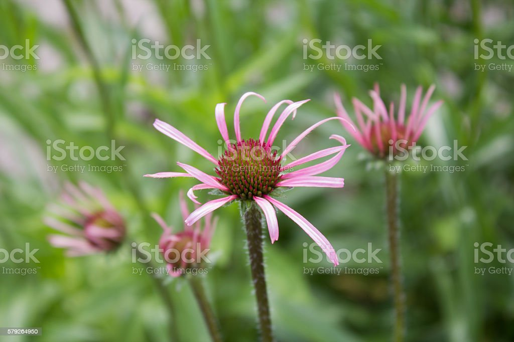 Purple coneflower (Echinacea pallida), close-up, in a garden at spring stock photo
