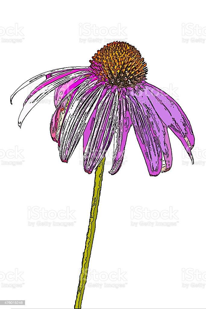 purple coneflower, Echinacea purpurea, posterized stock photo