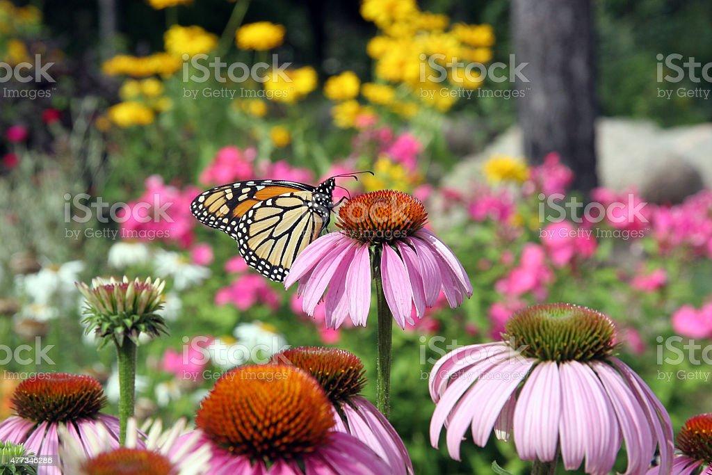 Purple Coneflower stock photo