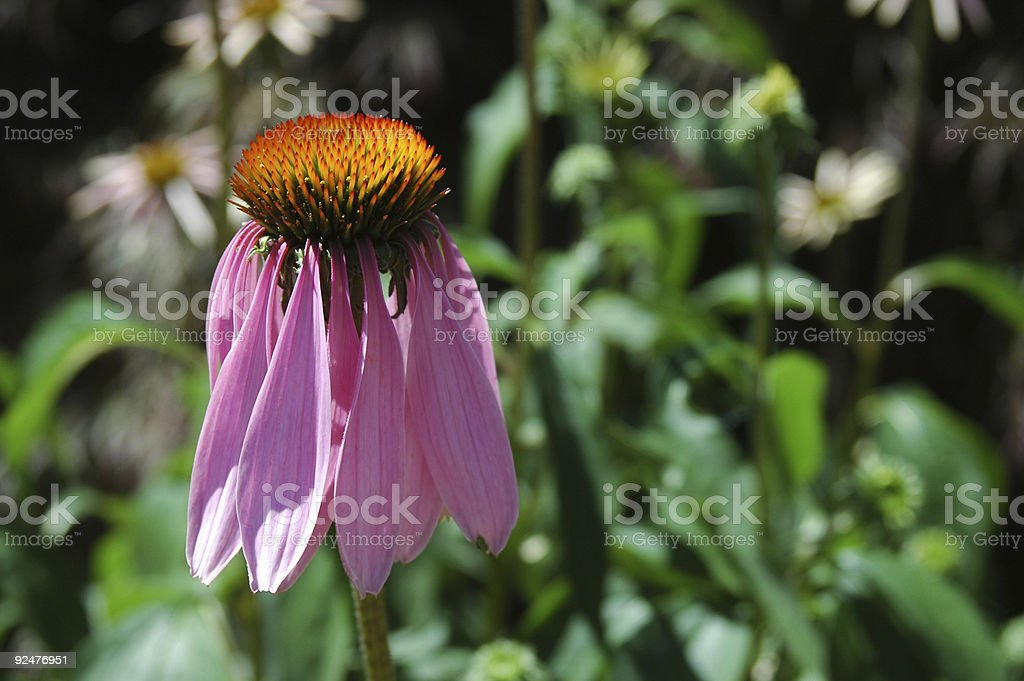 Purple coneflower royalty-free stock photo