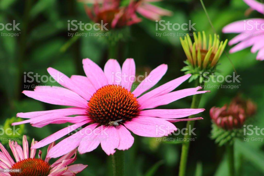 purple coneflower (Echinacea purpurea) zbiór zdjęć royalty-free