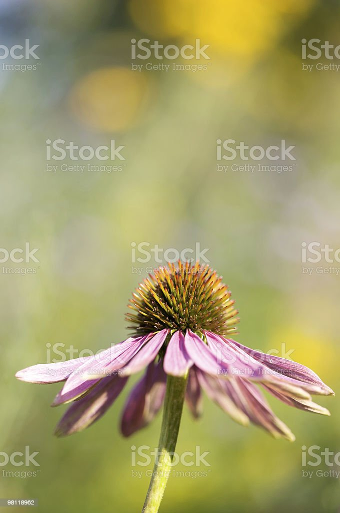 Purple Coneflower (Echinacea purpurea) royalty-free stock photo