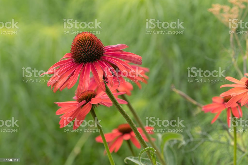 Purple cone-flower . purple-red color flower with green background stock photo